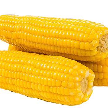 东北粘玉米10支