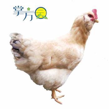 【在上村直供】掌方园农家散养土鸡(母鸡)约2.5斤装(散养220天左右)