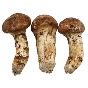智圆香格里拉新鲜松茸7-9cm新鲜菌菇500g