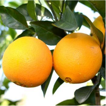 东风扶贫兴山脐橙精品中大果单果果径65mm起10斤/箱